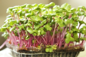 Growing microgreens on plastic white cup