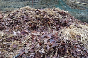 compost on garlic